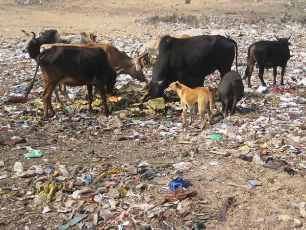 64b50 vacassagradas - O que a novela Caminho das Índias não mostra. O outro lado da India