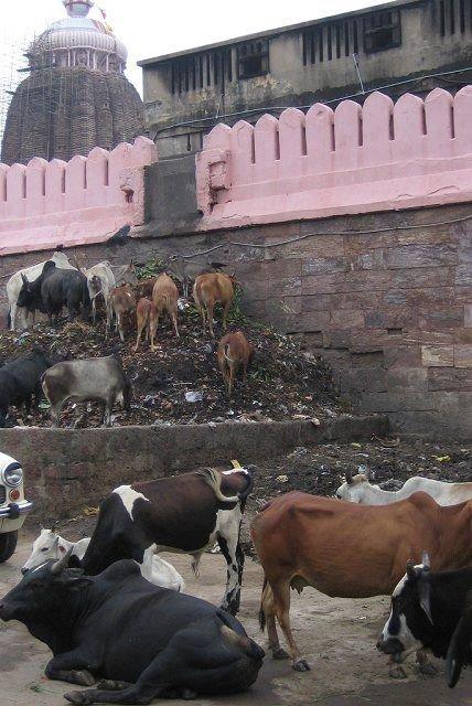 fcbc7 vacascomfome - O que a novela Caminho das Índias não mostra. O outro lado da India