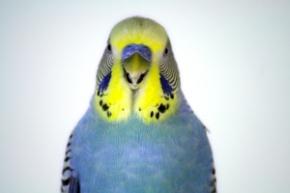 fea97 periquito lindo1 budgie parakeet 99 - Fotos: Periquitos Talentosos