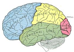b5ba7 cerebro humano - Artigo: A mente apaga registros duplicados - O cérebro e o tempo viva a vida