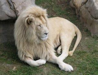 8f0dd leao branco - A farsa do leão negro