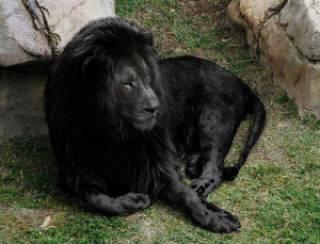 dc341 leao preto - A farsa do leão negro