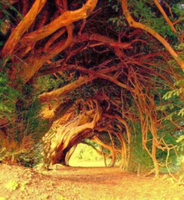 c3ec2 1000 year old yew tree west wales - Lugares maravilhosos de tirar o fôlego - Parte #01